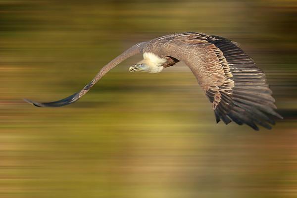 Vulture - Vautour