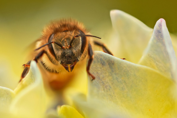 Bee in the hydrangea by Bruno SUIGNARD