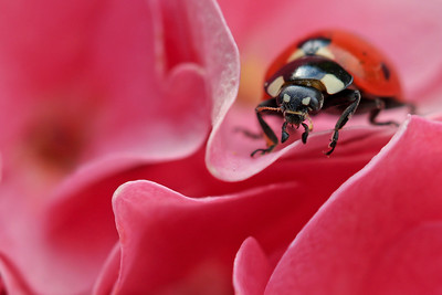 Ladybird  -  Coccinelle