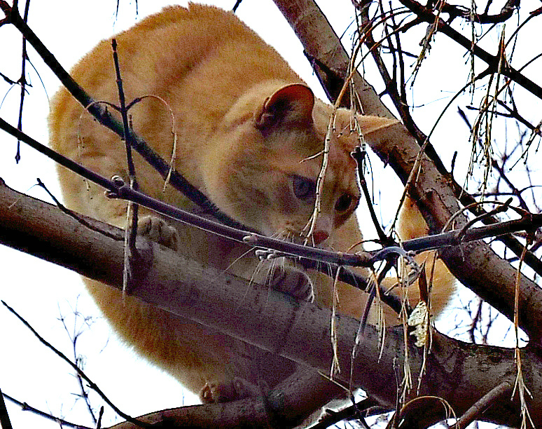 POST FOR MARCH 23/16  THIS IS FELIX ,,OUR NEXT DOOR KITTY.. HE LOVES OUR TREE.