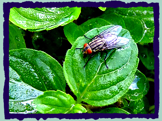 FLY MUST LIKE GINGER MINT    ,,,  17/08/16