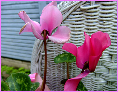 pinks   27/06/17