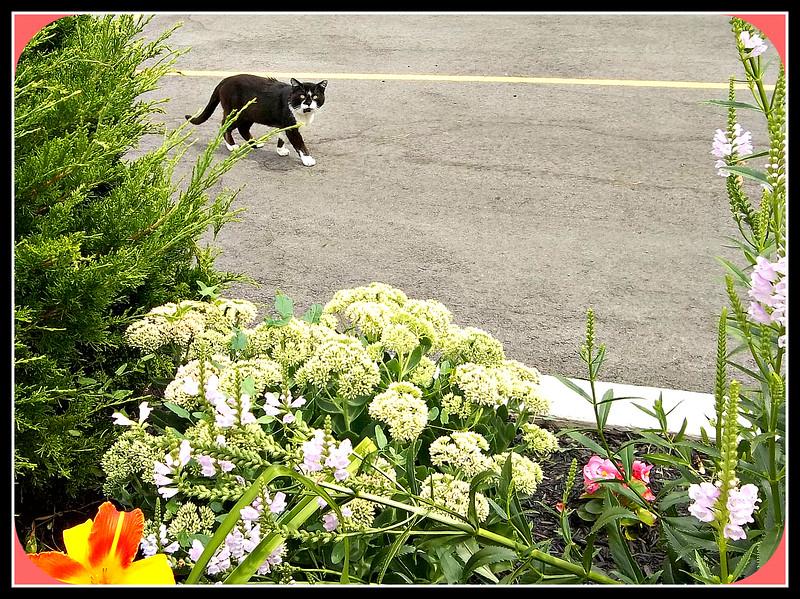 OUR GARDEN CAT,,, LIVES NEXT DOOR , I THINK,,  8/1/18