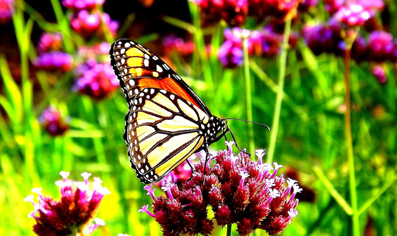 I'm SO excited that I finally got a shot of a butterfly this summer!!!!!!!!!!!!!! I went out two days in a row for quite awhile in this heat! It is so HOT again , but it paid off today! This is taken in Gage Park where they have a garden set up with Monarch favorites!! WOOHOOO    I got lots of nice flower shots too but,,later,,,    oh and this is an early Aug.23/12 post   yay to Summer!!