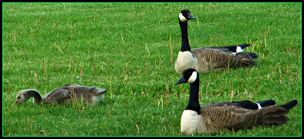 HAPPY FATERS DAY,,I HOPE THIS IS A MAMA AND PAPA. GOT ONE MALLARD SHOT ..TOO FAR AWAY,,,HE LOOKED LIKE A BACHELOR THOUGH. 19/05/15