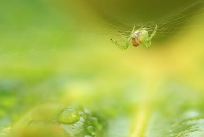 Green Spider , Drop by Bruno SUIGNARD