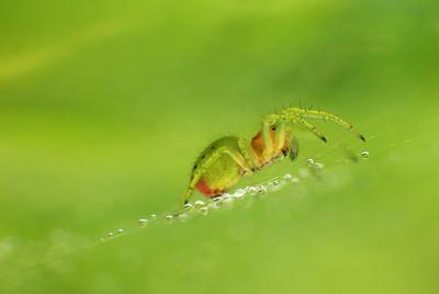 Green Spider , Drops   by Bruno SUIGNARD