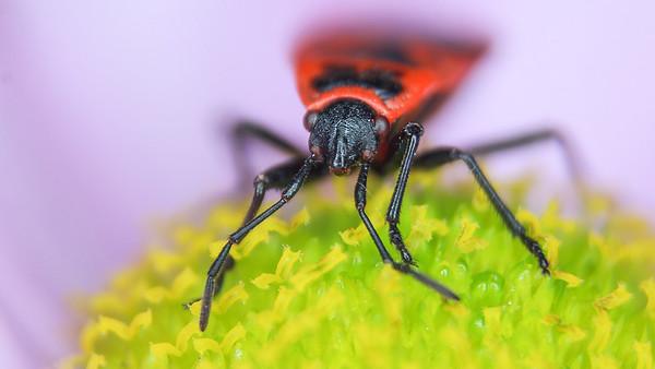 Pyrrhocoris apterus  -  1