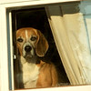"""How Much is that Doggy in the Window? "" <br />  This little guy waits at the window every morning for his master to get home from work and you can`t get a bark or a smile out of him while he waits with this sad , little face. I pass by his house most mornings and he hides behind the curtain , but he was braver today. <br />  I`m very tired so this will be my post for the 29th.This was the best I could do with glass between him and the camera..I wanted to pet his sadness away.<br />    This was taken last year 2011 and  , I 've just met the dog owner this am June 19,2012. . Told her that I have this doggy shot for her and she seemed delighted to give me her address so I can drop it off. Thank you to the smug mugger who helped me to sharpen  the colors!"
