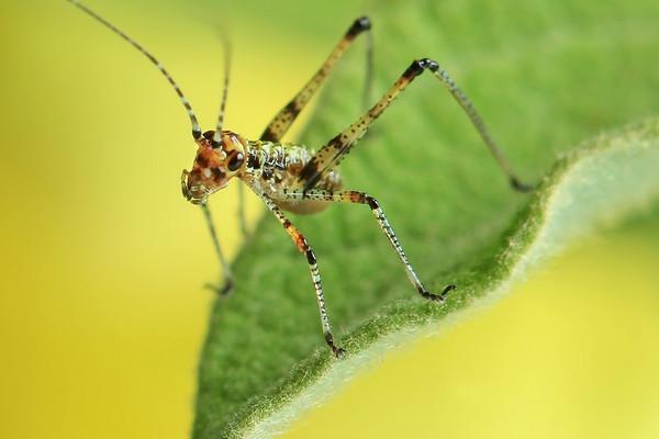 Tiny Grasshopper   by Bruno Suignard