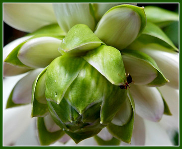 MY HOSTAS ARE GOING BUGGY  THIS YEAR,,, CAN'T BELIEVE IT BUT THIS POST IS FOR SEPT. FIRST  2016