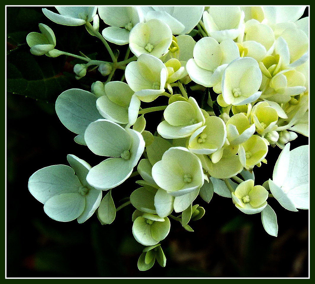 ROYALTY,,,,,,08/09/16,,,,seem to be hydrangea macrophylla,,, Blushing Bride,,,according to google  thanks for all nice comments.