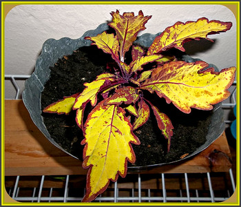 STAYING OUTSIDE FOR THE FIRST NIGHT,,,,IT HAS BEEN COLD.  I LOVE COLEUS SO THIS IS A TREAT  AND I'VE NEVER SEEN THIS VARIATION BEFORE. WATCHING   FIREWORKS TOMORROW  NIGHT ,,LIKELY FROM THE BALCONY!!   5/21/18