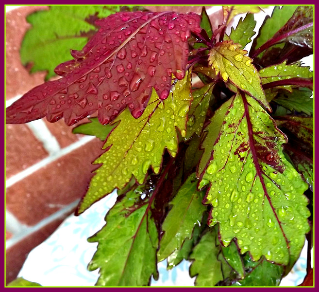 YESTERDAY,,IT RAINED,,, my coleus,,,7/28/18