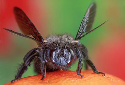 Carpenter Bee  -  Abeille charpentière