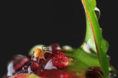Baby Spider By Bruno SUIGNARD