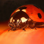 Ladybird  -  1