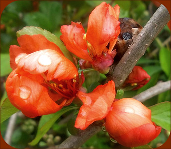 RAIN ON QUINCE ,,SUPPOSED TO BE  SUNNY ON  THIS FRIDAY! YAY  19/06/06