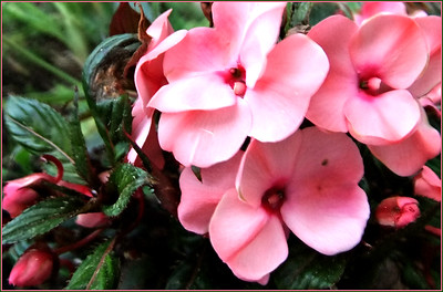 My Impatiens,,Loving the front garden sun!  Ducklings tomorrow .. cold and dreary all day , but we planted the garden!! YAY!!!!19/06/13