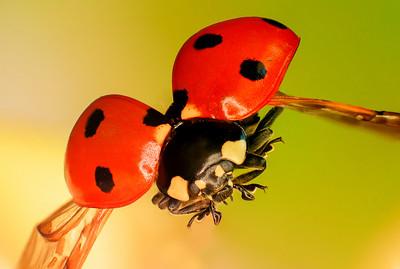 Ladybird  -  2