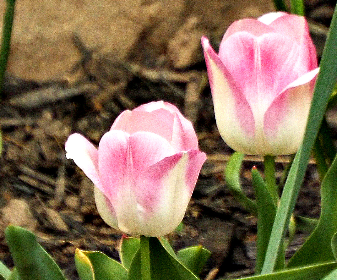 PINK TULIPS IN A COLD MAY 2016