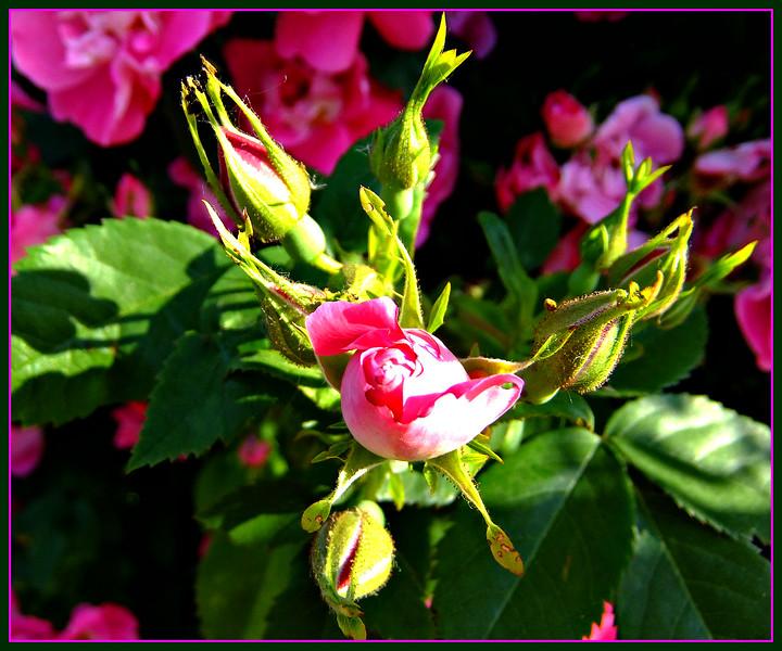 budding into pink,,,17/06/17