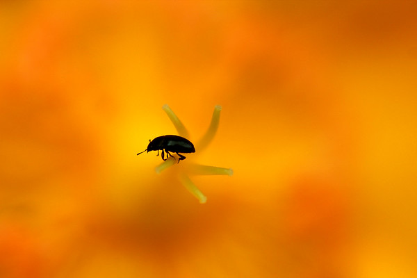 Flea Beetle at the top of the Pistil   by Bruno SUIGNARD