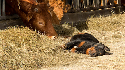 A Peaceful Farm  -  Une Ferme Paisible