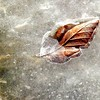 Feb.22/13<br />  The sun came out today . She loved the warmth and sunlight. It lifted my mood to walk. A leaf in ice.