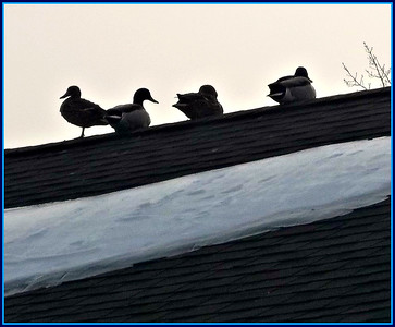 Mallards on A roof,,, ??? Thanks for the lamb-y , balmy, wishes arc. We're gonna need them!! In like a lion GC ,,, 15 to 20 cm storm on Sunday!!