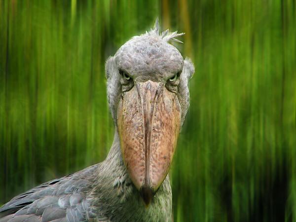 Le Bec-en-sabot du Nil  -  Shoebill