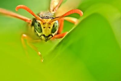 Hornet(2) by Bruno SUIGNARD