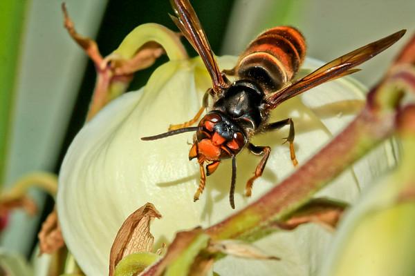 Hornet by Bruno SUIGNARD