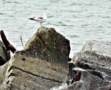 seagull on the rocks,,,,23/05/2017