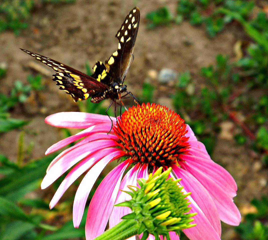 MY BUTTERFLY FOR JULY 11   THIS IS OUR GAGE PARK GARDENS ,,,,,