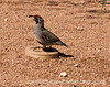 A gambel quail, photographed at the Desert Botanical Garden in Arizona; several of these little guys were running around under the tables in the outside snack area; although they did not seem very intimidated by the people, they were moving rapidly all the time, so it was difficult to capture a sharp shot; best viewed in the largest sizes.<br /> <br /> Thanks for the comments on the barrel cactus and the mescal bean flower.  I really appreciate the time you take to make the comments.  Hope you enjoy your weekend.  It sounds like our weather is not going to be too nice.