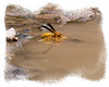 This wasp was sort of floating/walking on this puddle in Big Bend National Park in Texas.  Note his reflection in the water.  Look at it in the largest size to see the detail.  I love insects and am always trying to take macro shots of them, though I don't seem to succeed too often.  This one is better than many I have taken.  I really appreciate all the comments on my pelican image.  We are having storms move through tonight...rain, sleet, hail and snow.  Beginning early in the morning, we're supposed to get a lot of snow.  We'll see.  They miss the forecast about as often as they get it right.  Hope most of you are having better weather than we are.  From the pictures, I can tell that a lot of you are in the midst of spring.  Enjoy your spring!