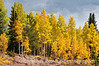 Aspen in autumn in Colorado along the road to Cripple Creek; best viewed in the largest sizes.<br /> <br /> I sure appreciated your comments on my shot of the corn in the corn maze.  Thanks a bunch for taking the time!<br /> <br /> It is supposed to be another gorgeous Indian summer day today, but tomorrow the high will be around 30 degrees with snow.  So, I'm planning to enjoy the good weather while it lasts.  Hope you can do the same!