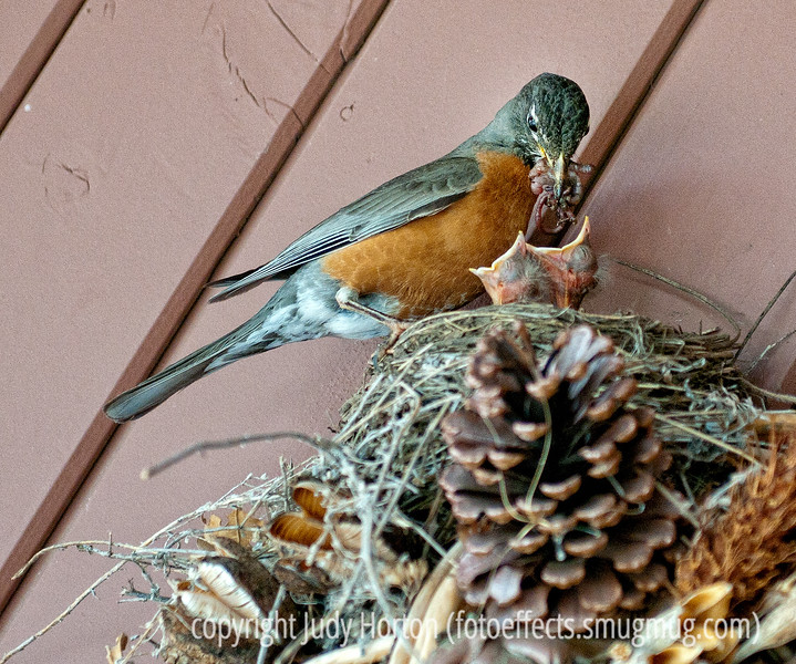 A mother or father robin is about to feed its babies with a mess of bugs it has captured.  Must be viewed in the largest size to see the details.  I was so excited to get this shot!  There are actually four babies, but these two were the only ones that could hold their heads up above the nest's rim.  I'm amazed at how many insects the parent has managed to keep in its beak.  These robins have nested on a wreath on my front porch.  It has been fascinating watching them incubate the eggs and, now, feed the babes.  Hope you folks like it!<br /> <br /> I'm totally humbled that my iris shot was #1 for the day!  It seemed to me that so many people really outdid themselves yesterday.  I think every single shot on the first page was deserving of the top position.  I had a bit of extra time and went almost all the way through all the photos today and I just got more and more inspired!  Wow!!!