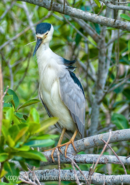 Black-crowned night heron; best viewed in the largest size. Still reprocessing all these Everglades shots.<br /> <br /> Thanks for the nice comments on my shot of the little green heron.  They are such interesting birds!<br /> <br /> Have a good weekend and take some fine shots!