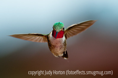 08-17-11 Ruby-throated hummingbird; best viewed in the largest sizes.  Taken in Teal Campground in southern Colorado.  Thanks to those of you who found my photo for yesterday and liked it well enough to post a comment.  Much appreciated.  Have a great day!