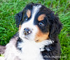 A five week old Burmese Mountain Dog; you must view this in the largest size to see the reflections in the puppy's eyes.  All of these puppies have the little pinkish-white on their noses.  Rather unusual, I think.<br /> <br /> Thanks to everyone for making my shot of the popped water balloon the #1 shot for the day!  Some of you asked how many shots I had to take to get this.  Actually, this was the very first try!  We did this quite a few times and every time I got a shot that was about this good.  I set my shutter speed to 1/1000 second and also set the camera to take continuous shots as I pressed the shutter.  I got the balloon in focus and had Spencer pop the balloon on the count of 3.  I started pressing the shutter just a bit before the 3 count.  It was shot outside and the light was quite bright.  There was no noise in the shot, even at that speed.<br /> <br /> Have a great Friday!  We got the carpet installed.  They started at 8 a.m. and finished at 8 p.m.  So today I have to clean house thoroughly and put everything back that we moved for the carpet layers.