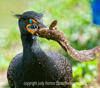 Cormorant with a fish - the comorant has beaten this fish against the ground and, as you can see, the fish is covered with dirt and sticks.  I liked the incredible teal eye and the wild look of the cormorant in this shot.  Best viewed in the larger sizes.  Thanks for all the comments on my shot at the mall.  You guys are the best and you continue to amaze and delight me with the shots you put up.  Today was no exception!