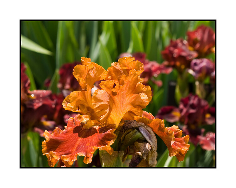 Please view the detail on this German bearded iris in the largest sizes.