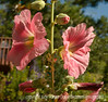 Please view the detail of these hollyhock flowers in the largest sizes.  These are from my garden.  The hollyhocks in my garden are mostly volunteer seedlings and, because of all the rain we've had this year, the colors are especially varied and vibrant.  We were helping our daughter with the construction on her studio in Denver all day yesterday and I did not even get a chance to look at anything on smugmug.  Hope everyone had a good day and enjoys the day today!