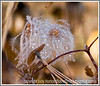 Day 12 - A clematis seedhead covered with water droplets; this image really needs to be viewed in a larger size.