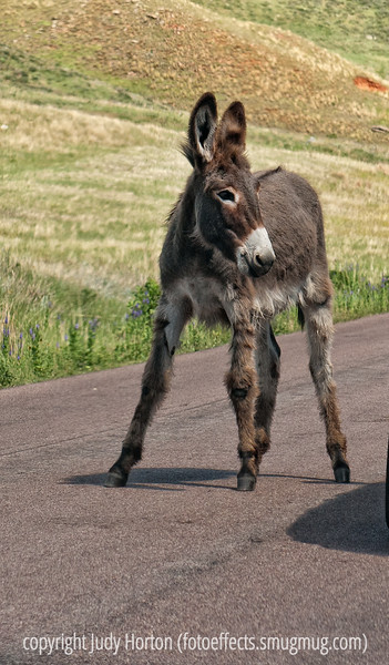 7/26/12 - Wild donkey in Custer State Park in South Dakota; best viewed in the largest sizes to see the lovely fuzzy ears.  Custer State Park has a whole herd of these wild donkeys.  They come right up to the cars, hoping to get carrots.<br /> <br /> I was overwhelmed with your response to my shot of the train engineer oiling the wheels of the train.  Thanks so much!