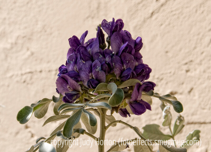 I think this is mescal bean, but I am not certain; best viewed in the largest sizes.  The bloom actually reminds me of the blooms of wisteria.  I hope you will forgive me for posting two shots today, as I did not post on Thursday because of my extra early appointment for the epidural injection in my spine; then, the sedative they gave me caused me to sleep for a good part of the rest of the day.  So, if you have time, please take a look at my other shot of the barrel cactus in bloom.  Thanks.<br /> <br /> Hope everyone has a decent Friday and is getting ready for the weekend.