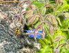 Bee and Borage - definitely needs to be viewed in the larger sizes<br /> <br /> Sure appreciate all the support from smugmuggers this week.  Hope you are having nice summer weather like we are here in Colorado.  Enjoy!