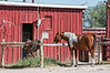 A horse waits to be saddled at Chico Basin Ranch in Colorado; best viewed in the larger sizes.  Chico Basin Ranch is south and east of Colorado Springs.  It is a working ranch where retired horses are allowed to roam free much of the time.  It is also a major stop for migrating birds.<br /> <br /> I was amazed to see my shot of the llama in the #1 spot all day.  Thanks to you all for making that possible with your comments and thumbs up.  Hope your week is going well and that you have a great day!